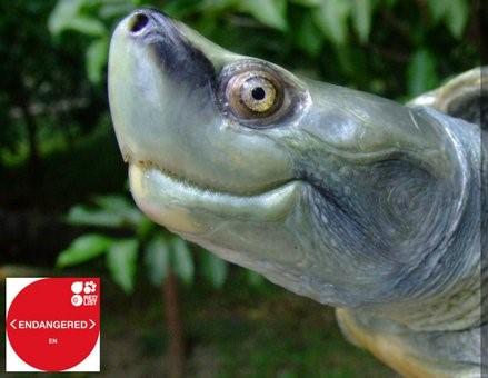 Photo of Burmese Roofed Turtle